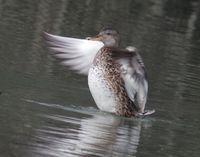 Découverte des oiseaux hivernants ( Réserve Naturelle)