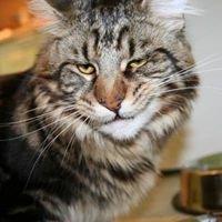 Pallas Katze