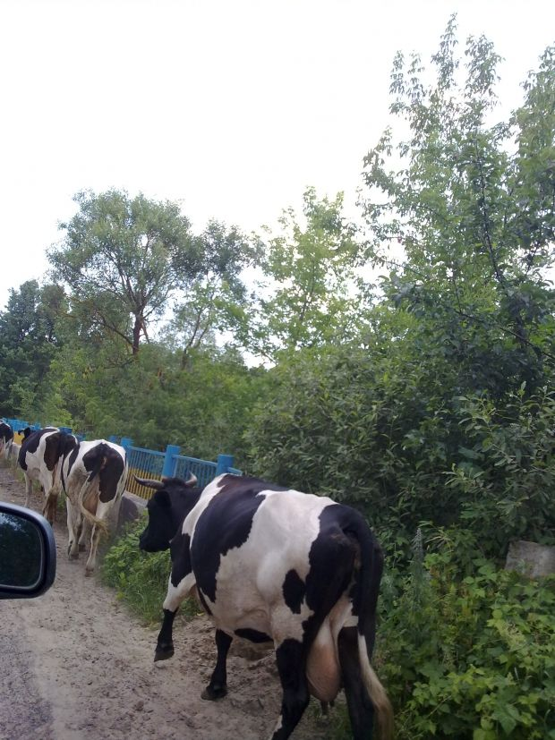 182c8001c4-cow.jpg