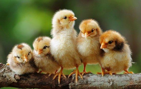 Профессиональный рост, або Цыплята по осени