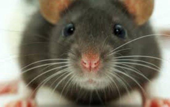 Из жизни крыс и людей