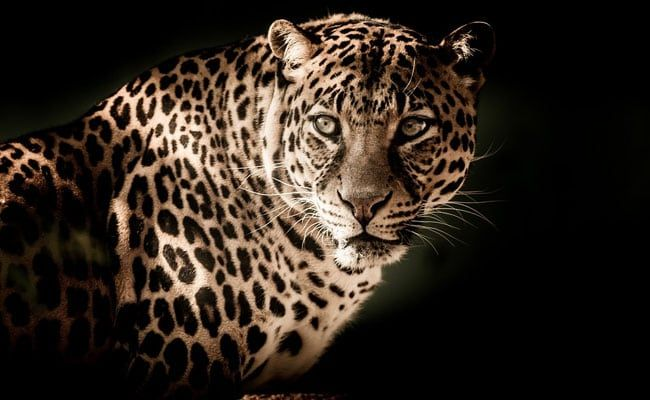 Endangered Leopord Killed For Asthama Cure In Sri Lanka, 3 Arrested