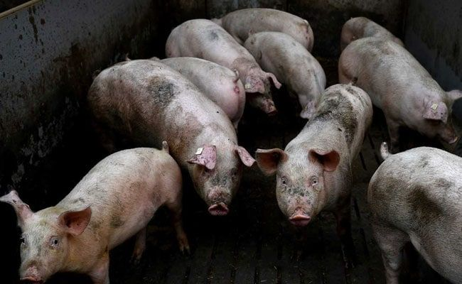 New China Swine Fever Strains Point To Unlicensed Vaccines: Experts