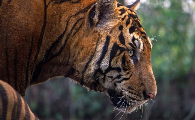 'Tiger Habib', Wanted For Killing 70 Tigers, Arrested In Bangladesh