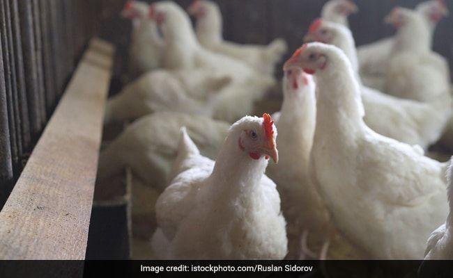 Risk Of Human Spread Of Bird Flu Appears Low: WHO