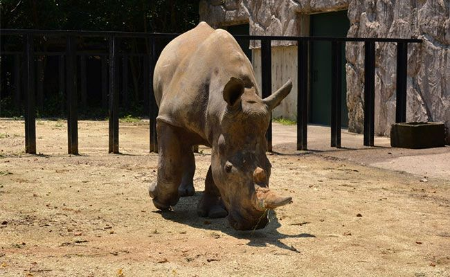 Watch: White Rhino 'Emma' Lands In Japan Looking For Love