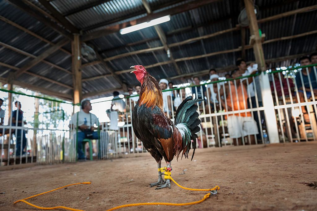 A rooster is shown before a cockfight in Coron, Philippines on Feb. 18, 2012.