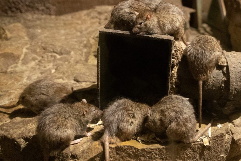 Several rats are shown together in this March 26, 2019 file photo.