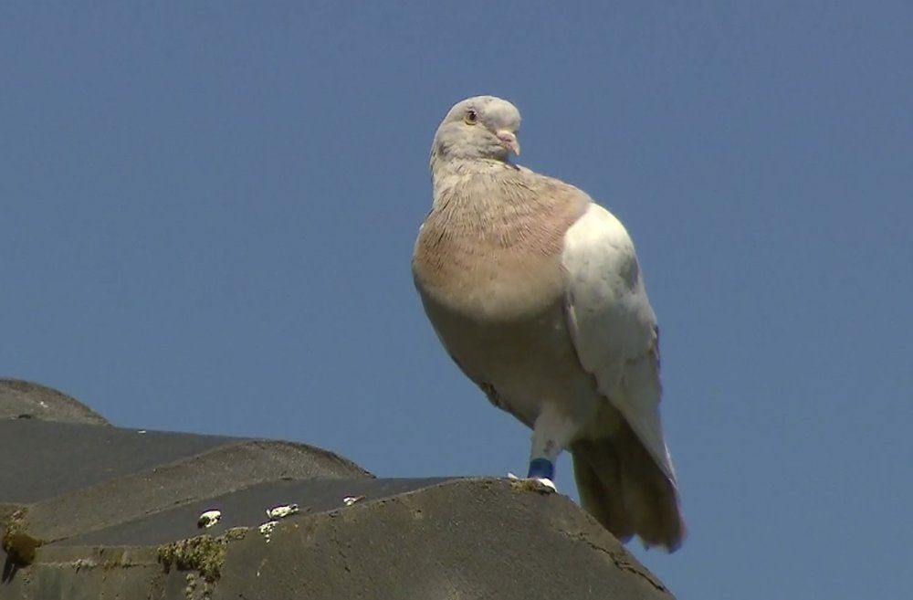 In this image made from video, a racing pigeon sits on a rooftop Wednesday, Jan. 13, 2021, in Melbourne, Australia,.