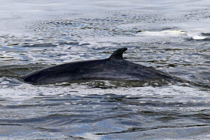 FILE: A Minke whale, between three to four metres long, is now swimming near Teddington Lock. Picture date: Monday May 10, 2021.