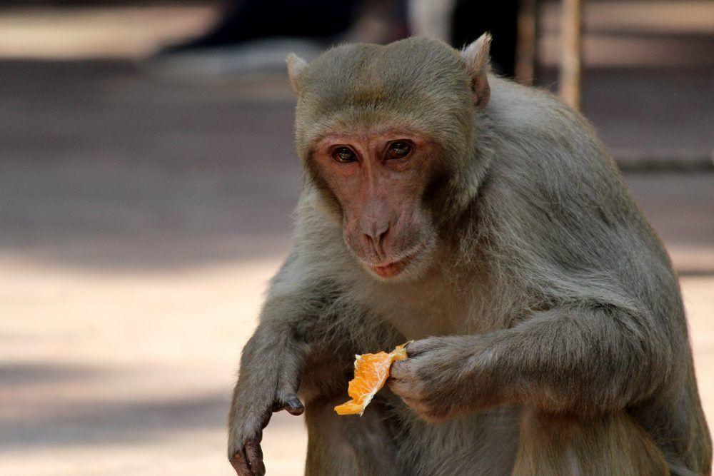A macaque monkey eats an orange on January 31, 2021.