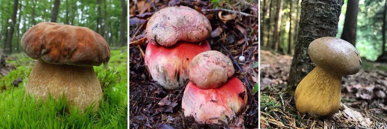 Шляхетний білий гриб відрізняється товстою циліндричною ніжкою і червонувато-коричневим капелюшком