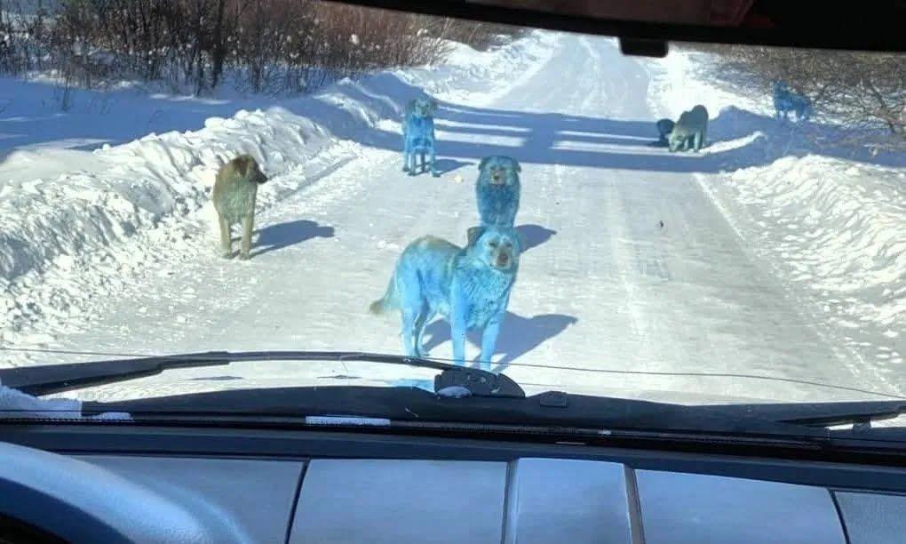 Сині собаки в Дзержинську