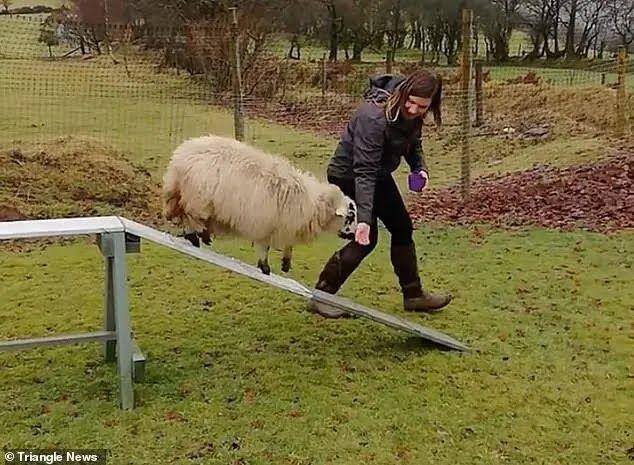 Овца тренируется