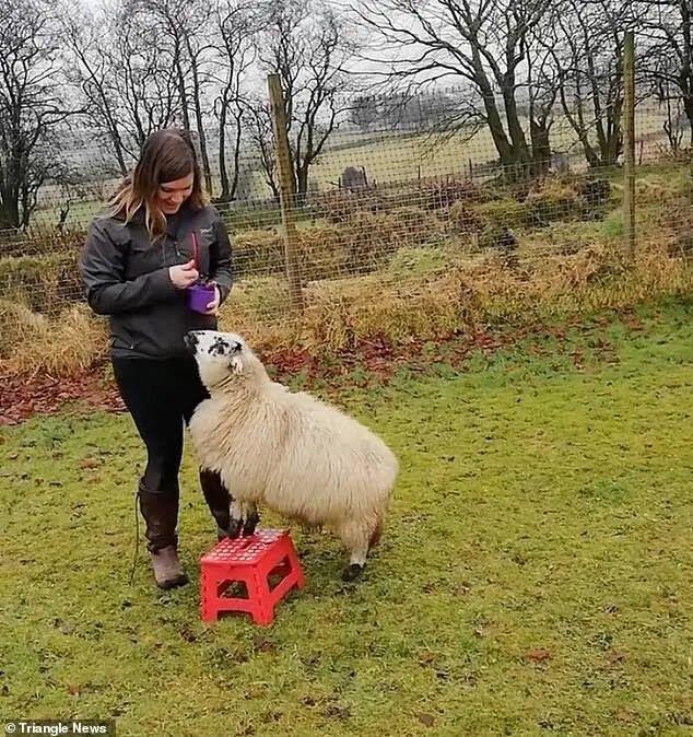 Овцу угощают вкусностями