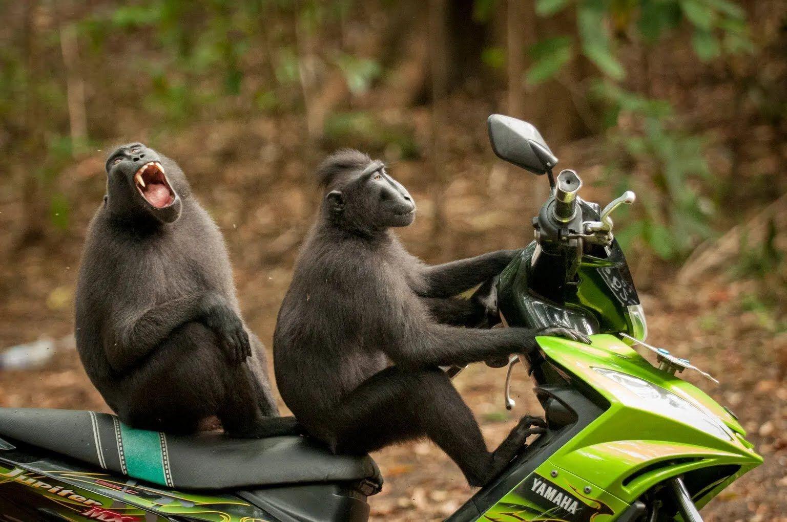 Пара обезьянок взяла на тест-драйв новенький мопед.