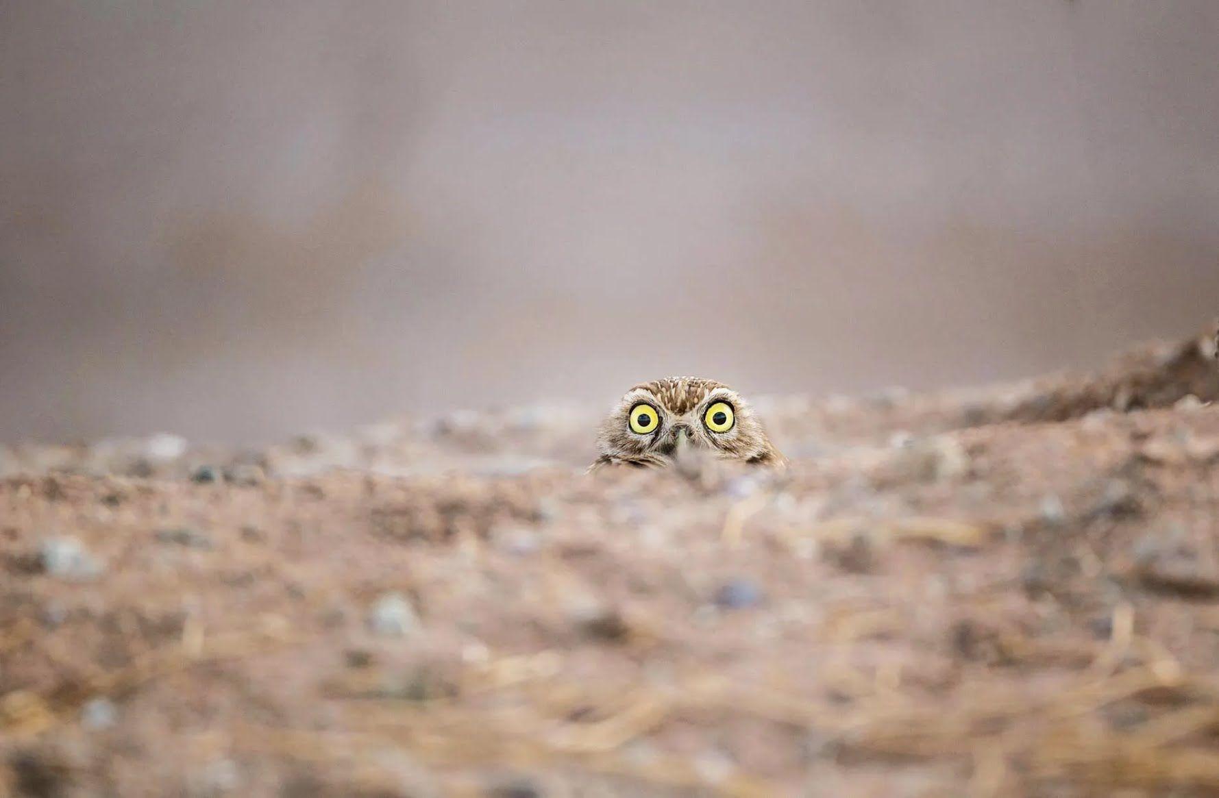 Сова ведет секретное наблюдение.
