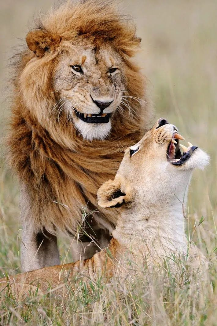 Пара хищных зверей позирует, как на картинке.