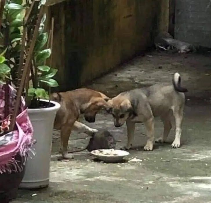 Два щенка подкармливают крысу.