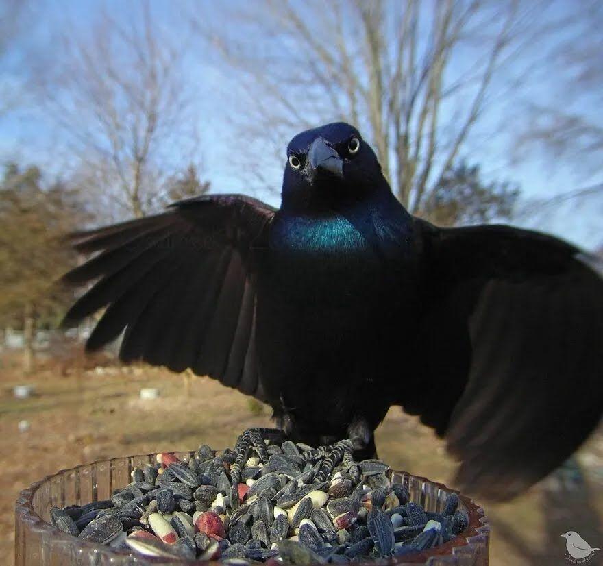 Ворон розправив крила.