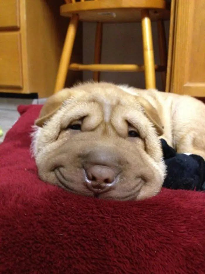 Пес улыбается, позируя на камеру.