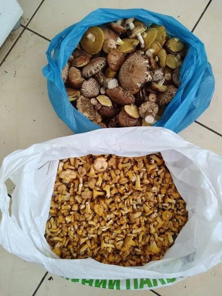 Багато грибів збирають в Бучі та Ворзелі.