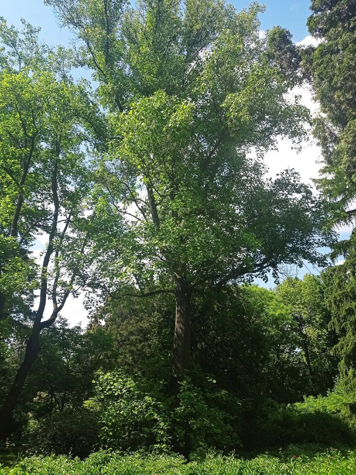 Помилуватися екзотичними деревами можна на Сирці.