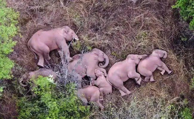 За слонами спостерігають із дронів