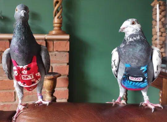 Врятовані голуби Меггі