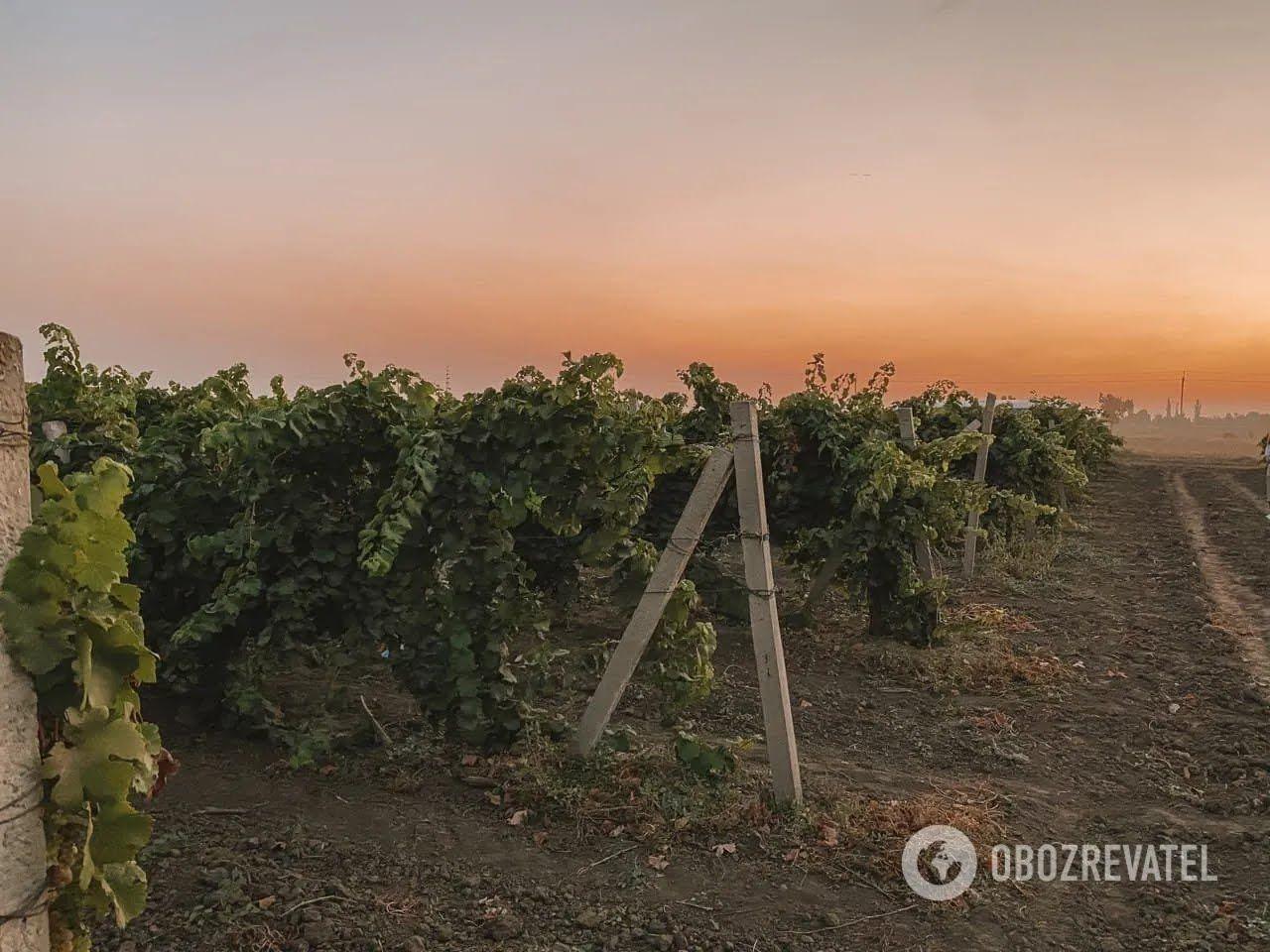 Виноробні KOBLEVO належить більше двох з половиною тисяч гектарів виноградників