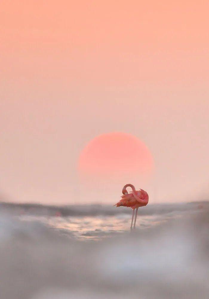 Фламинго на фоне розового заката.