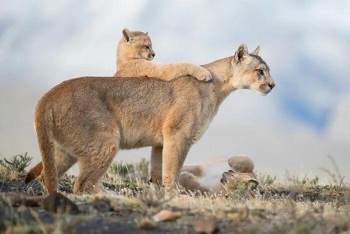 Тигрица учит малыша охотиться.