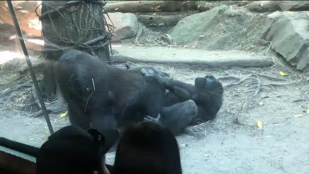 Шимпанзе влаштували показовий оральний секс