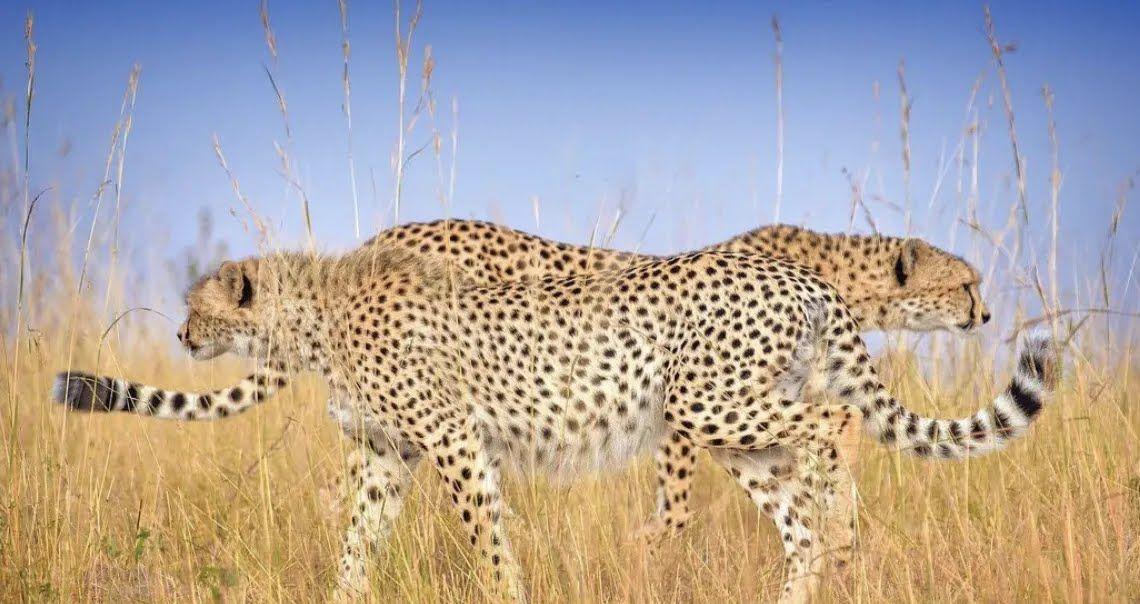 Леопарды гуляют в степи.