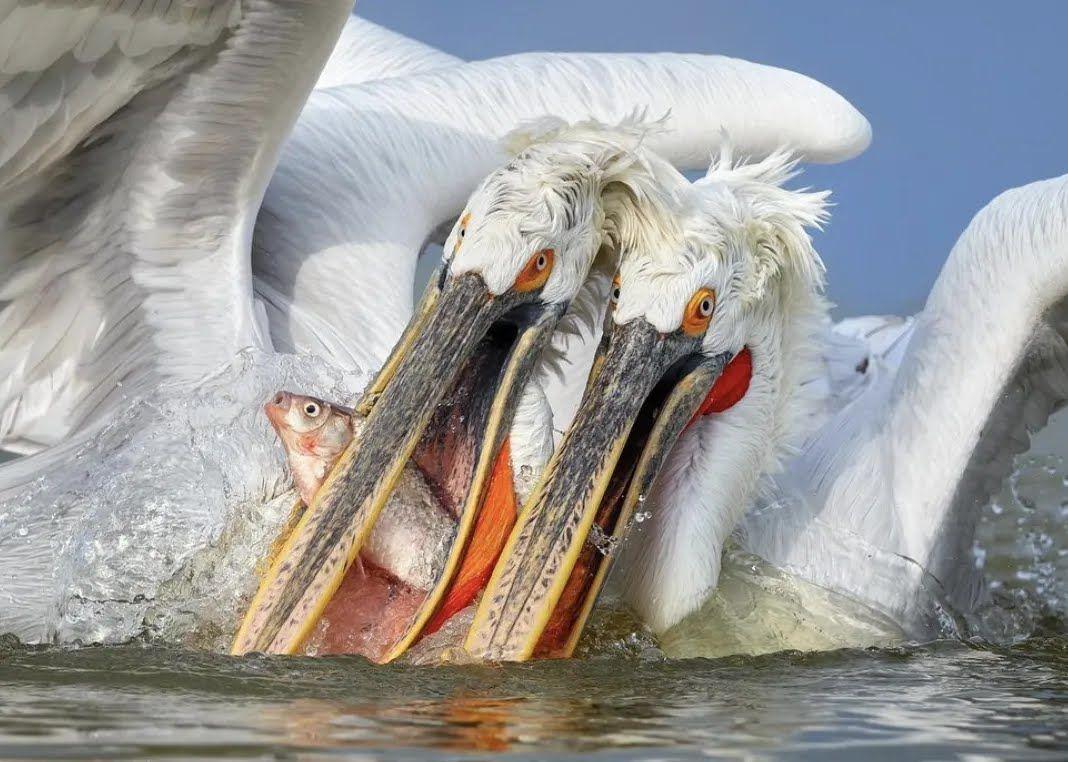 Пеликаны поймали рыбу.
