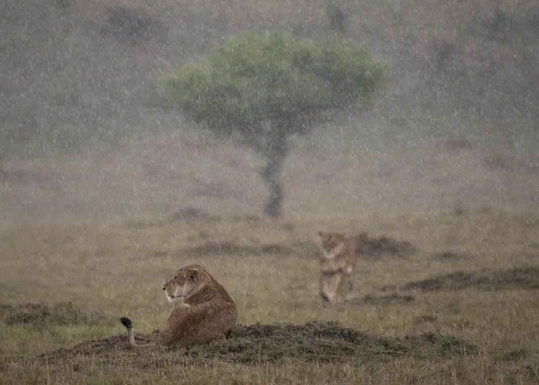 Тигры отдыхают во время дождя.