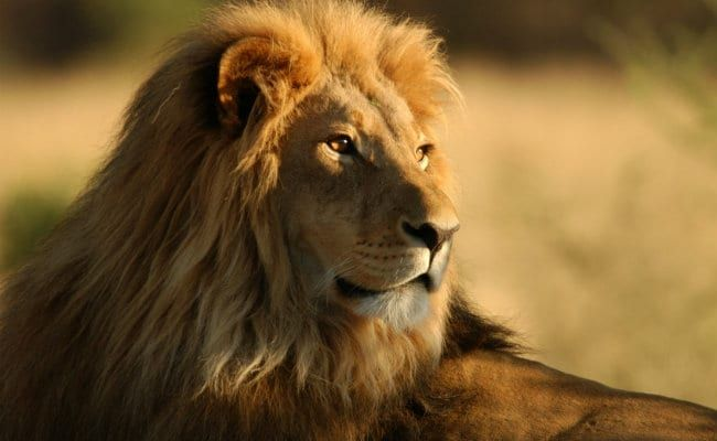 World Lion Day 2021: Date, History, Significance, And India's Lion Population