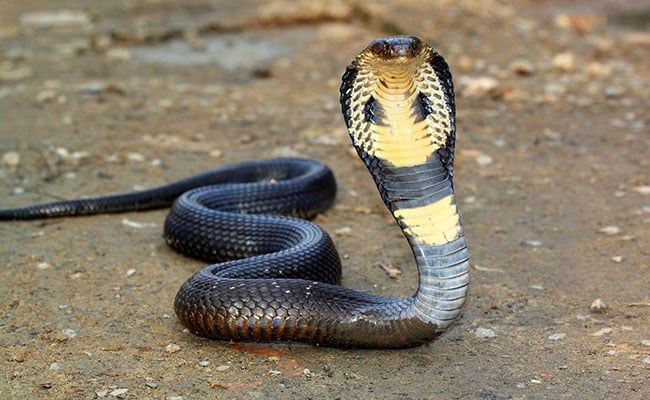 After Malaria And Covid, British Man Survives Cobra Bite In Rajasthan