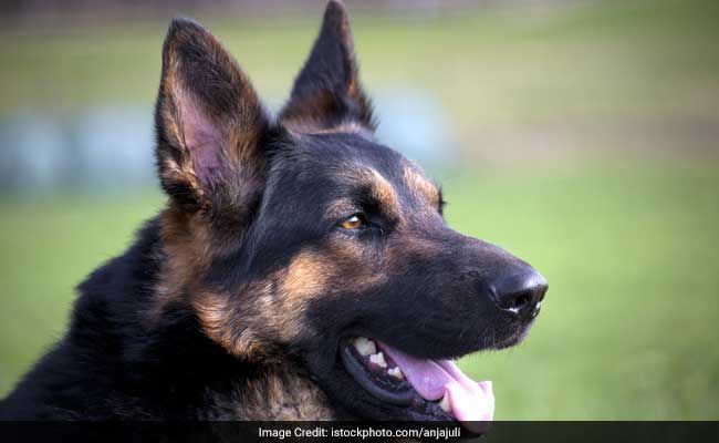 Trained Dogs Can Sniff Out Covid Positive Samples With 96% Accuracy: Study