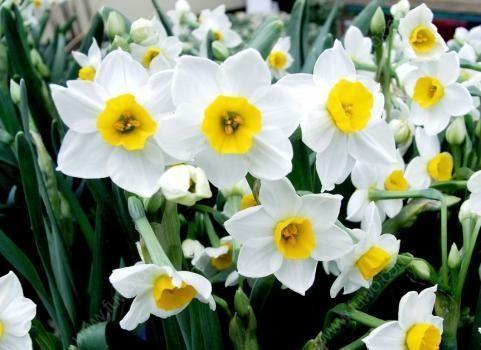 关于水仙花的小故事,为什么水仙花一年只开一次