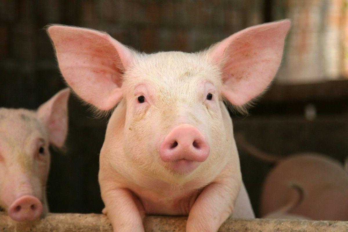 У 2000 році англійські вчені вперше у світі провели успішну операцію з клонування свині / фото REUTERS