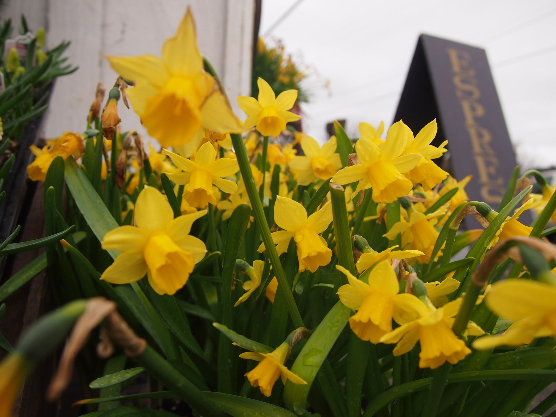 Daffodils, with a sign in background that says espresso