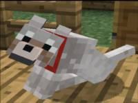 wilk-obroża