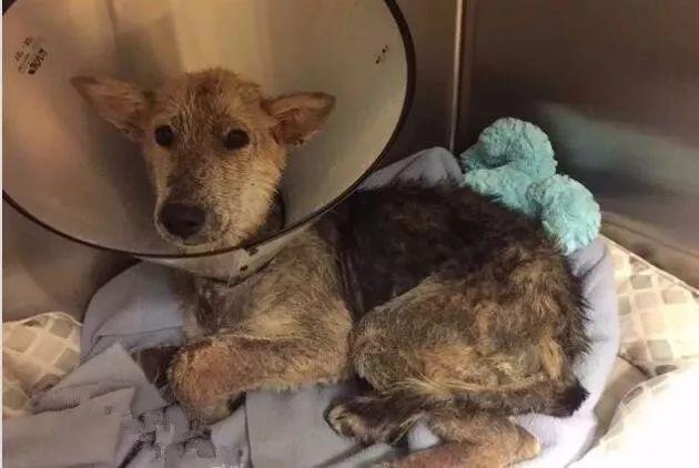 狗狗被綁在樹林全身潰爛,直到被她解救被她收養被她愛...
