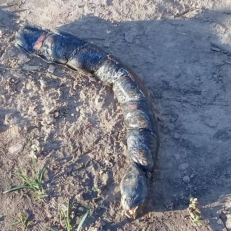 Жуткое существо с человеческими зубами обнаружила аргентинка на рисовом поле