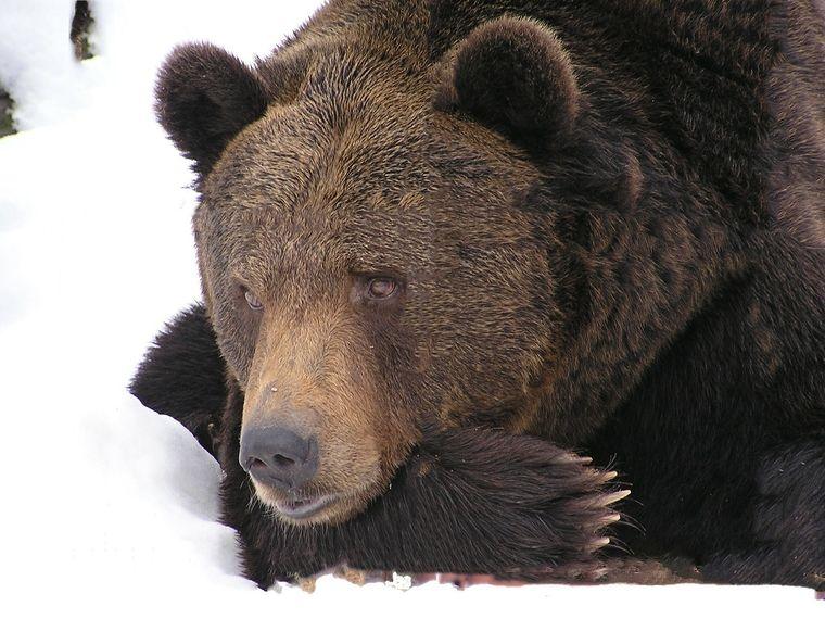 Ямальцев удивил гуляющий возле города медведь