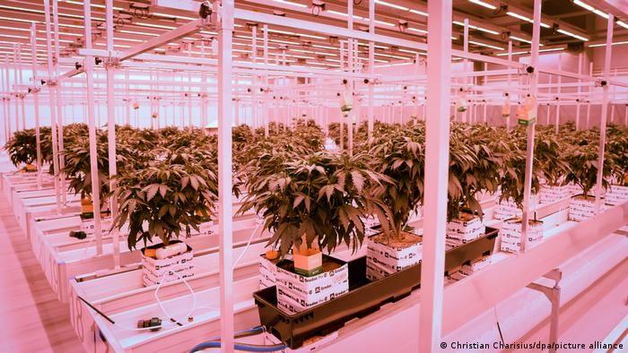 Пілотний проєкт вирощування медичної марихуани у Ноймюнстері