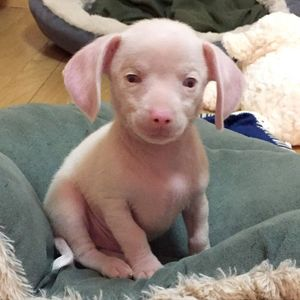 Piglet, the Deaf Blind Pink Puppy, Inspires and Educates