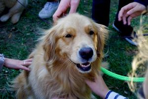 Petting Therapy Dogs Enhances Thinking Skills of Stressed Students