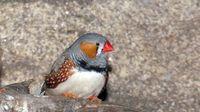 Enseñan a un algoritmo a recrear el canto de los pájaros a partir de su actividad cerebral